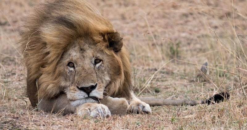 L'Afrique a perdu la moitié de ses lions en l'espace de 25 ans