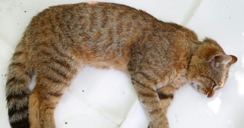 Le chat-renard, une nouvelle espèce sauvage a été recensée en Corse
