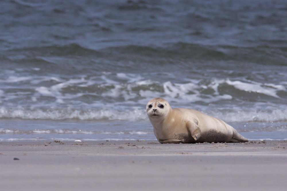 Pas-de-Calais: Un phoque retrouvé abattu au fusil de chasse