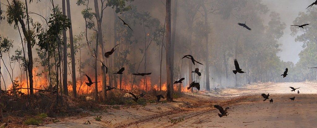 En Australie, des rapaces « pyromanes » ont réussi à ...
