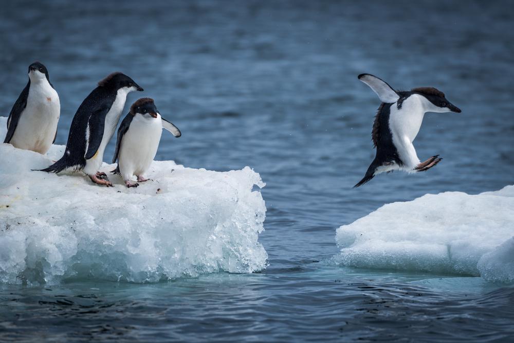 Une colonie de 1,5 million de manchots Adélie découvert en Antarctique — Biodiversité