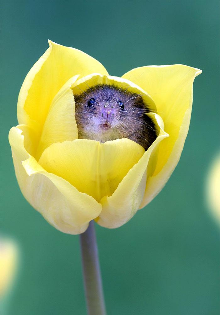 Des souris dans des tulipes ce photographe a d cid d 39 en for Attraper souris maison