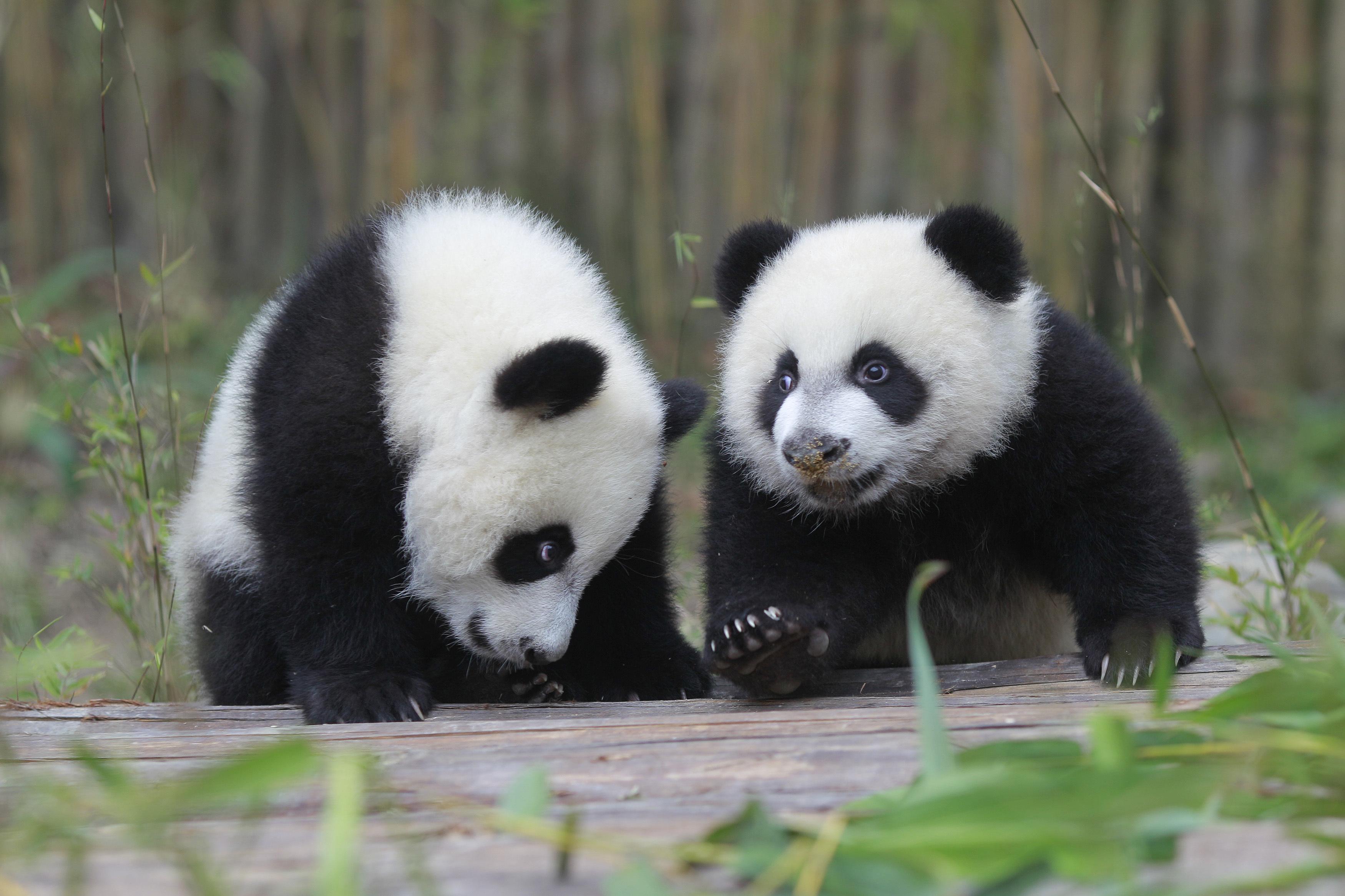 la femelle panda huan huan du zoo de beauval attend des jumeaux. Black Bedroom Furniture Sets. Home Design Ideas