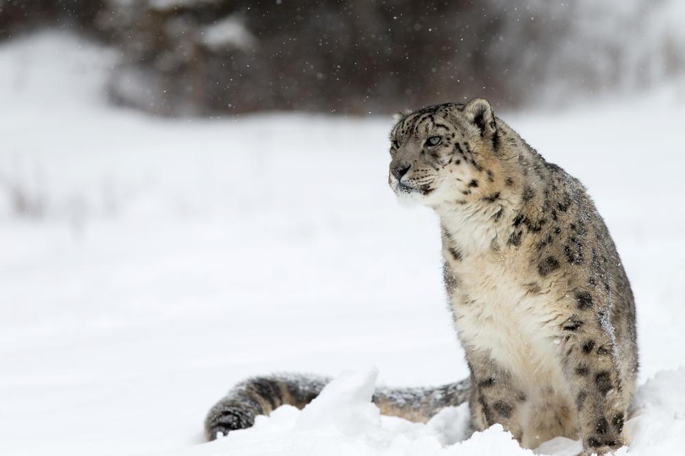 bc57f04db7812 Le léopard des neiges n est plus « en voie de disparition » !