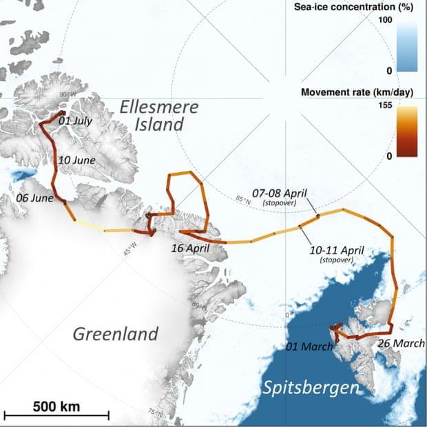 Un renard polaire a fait 3 506 km en 76 jours