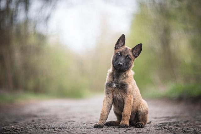 Sauvé de l'euthanasie, ce Malinois va devenir gendarme