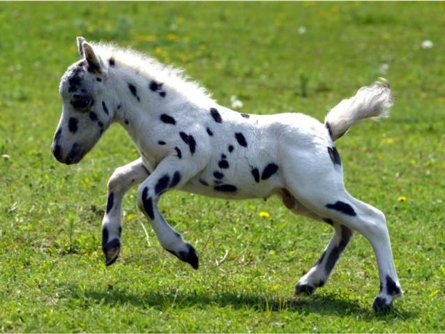 Souvent 25 chevaux miniatures qui vont vous donner envie de les adopter  LW71