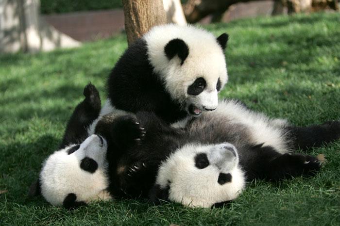 Non Ces B 233 B 233 S Pandas Ne Sont Pas Des Peluches Ils Sont