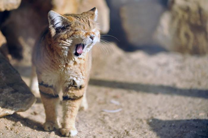 Le chat des sables peut rester sans boire pendant plusieurs jours ! L eau  qu il trouve dans ses proies lui suffit. 16f11f8c715d