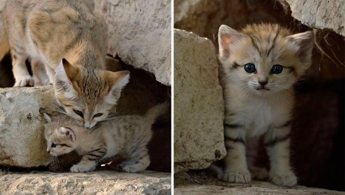 Ce chat reste chaton toute sa vie pourtant vous ne - Chat des sables a vendre ...