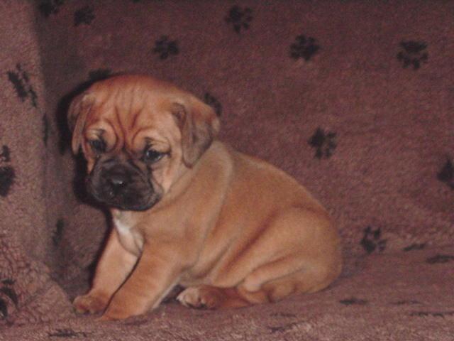 Fabuleux Les boxers sont des chiens vraiment horribles ! Ces 18 photos vous  QO94