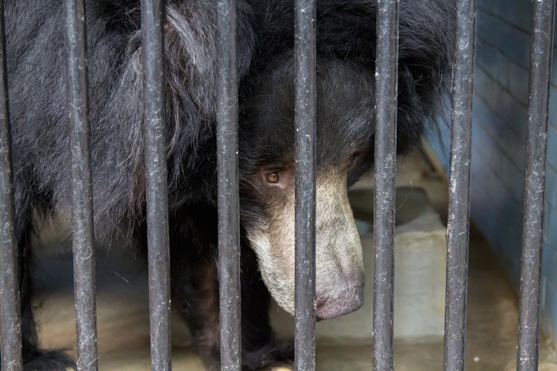 En Birmanie, un touriste chinois tue froidement un ours noir en cage et en voie de disparition avec un AK 47 1