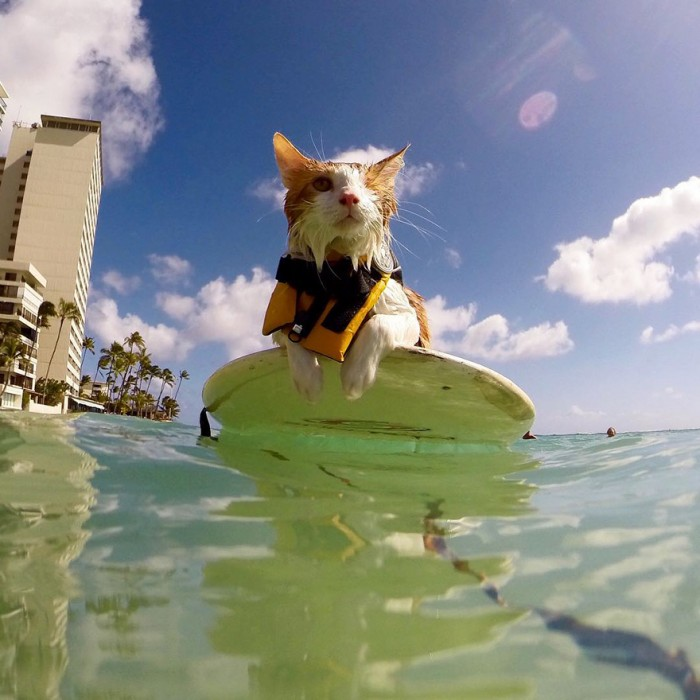 Картинки по запросу kuli the surfing cat