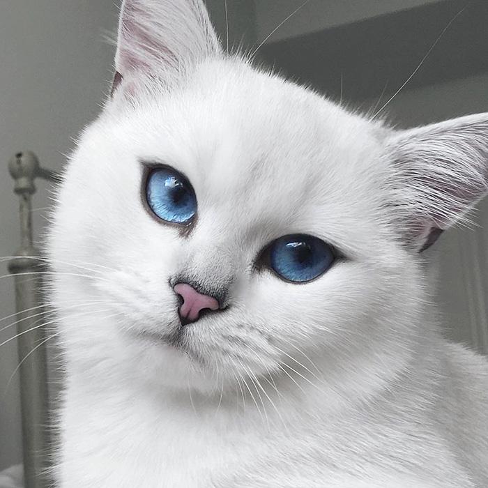 """Картинки по запросу """"порода белых кошек с голубыми глазами"""""""