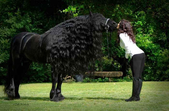 ce frison est le cheval le plus beau du monde les photos sont magnifiques. Black Bedroom Furniture Sets. Home Design Ideas