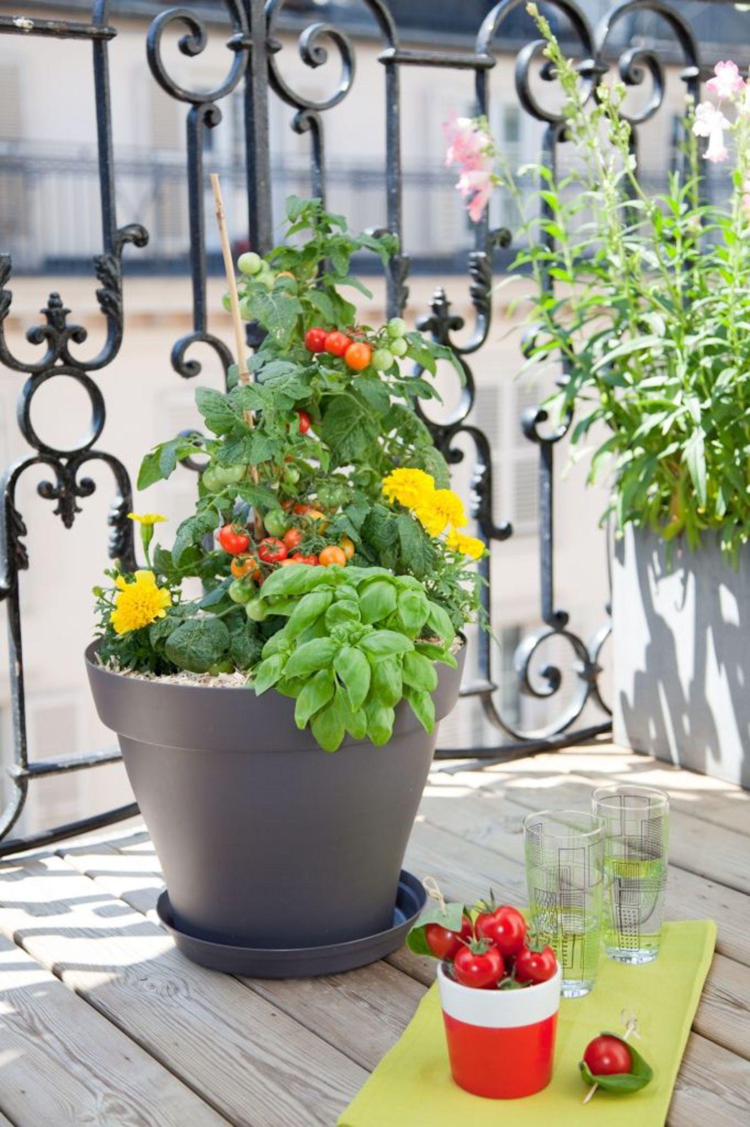 Comment faire pousser des tomates awesome arrosage - Arrosage basilic en pot ...