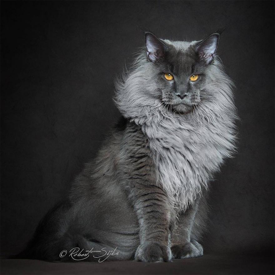 trop beau ce photographe a su capter la majest des chats de race main coon et les clich s. Black Bedroom Furniture Sets. Home Design Ideas