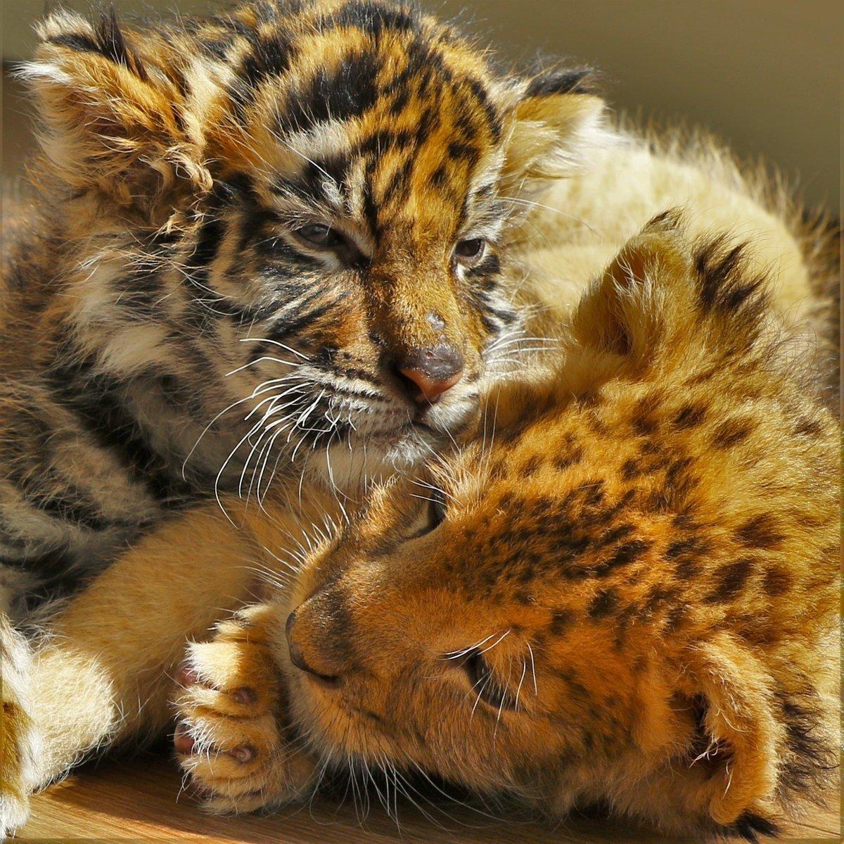 un b b tigre et un lionceau deviennent les meilleurs amis du monde avec les photos vous. Black Bedroom Furniture Sets. Home Design Ideas