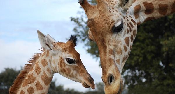 La girafe est officiellement une esp ce menac e d for Prix d une girafe a poncer