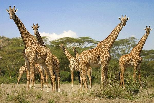JOURNEE MONDIALE DES ANIMAUX Girafe2-0