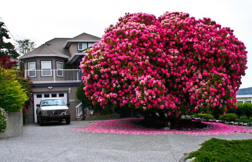 C'est de toute beauté : sites et lieux magnifiques de notre monde.  Rhododendron