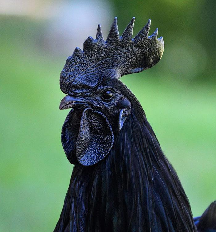 Détruit par coq noir