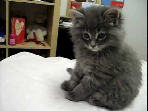 Bien-aimé Découvrez le Munchkin, la seule race de chat qui reste bébé toute  BO95