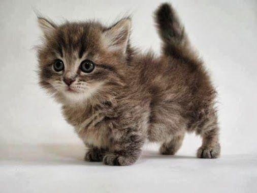 D couvrez le munchkin la seule race de chat qui reste - Prix chat munchkin ...