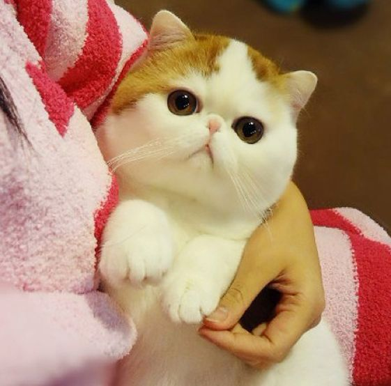 Fabuleux Découvrez le Munchkin, la seule race de chat qui reste bébé toute  GS97