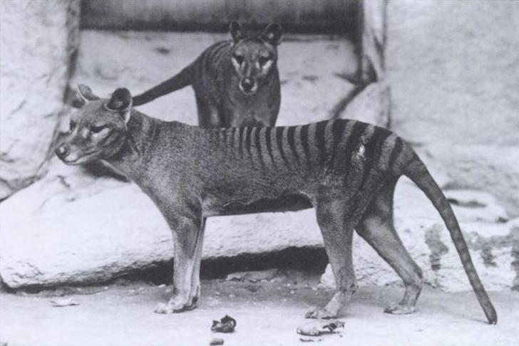 Le tigre de Tasmanie a-t-il vraiment disparu ?