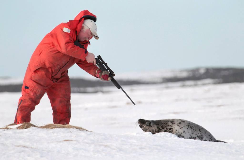 Baby Phoque la chasse aux bébés phoques au canada : un massacre complètement légal