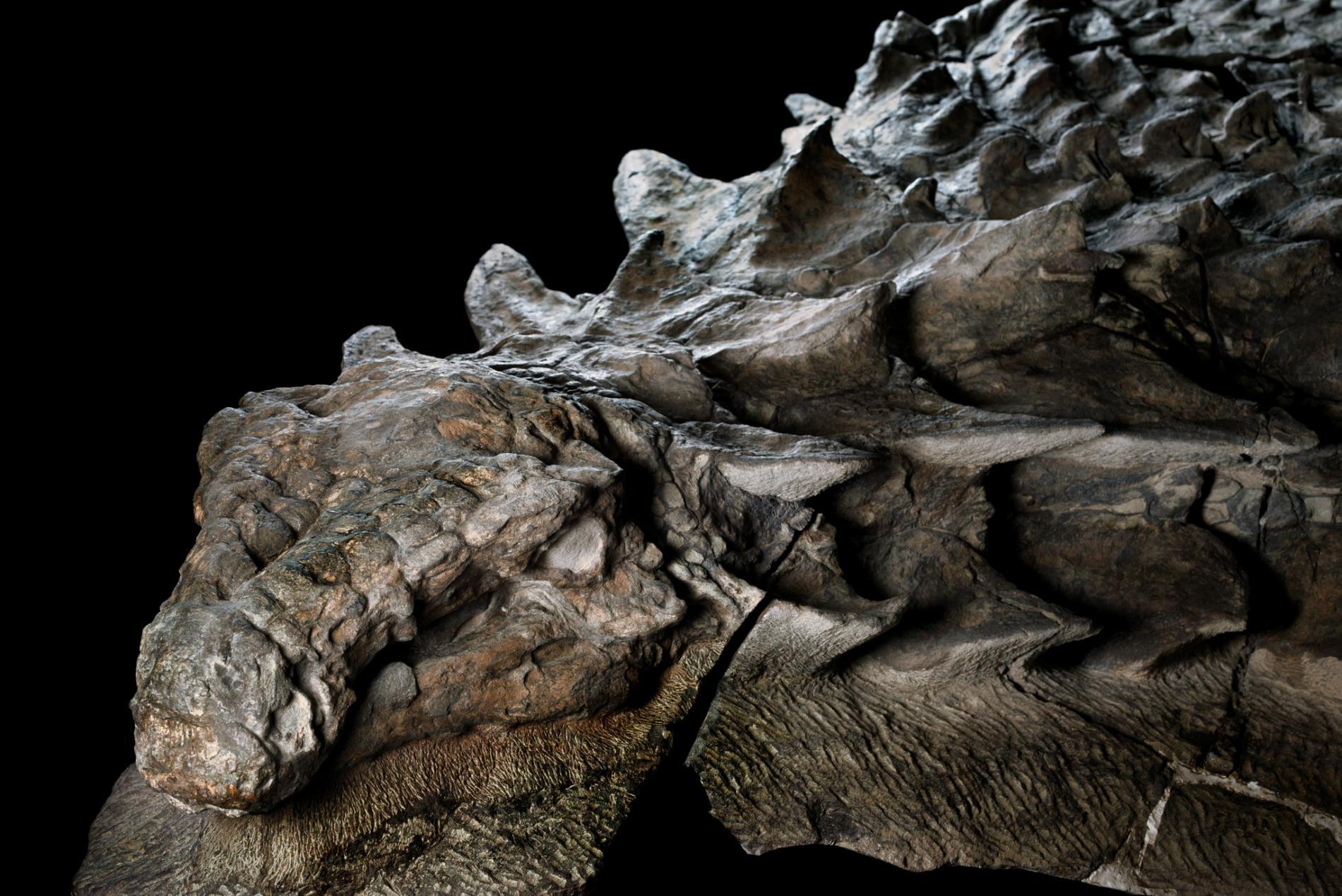 """Découverte d'une """"momie de dinosaure"""" au Canada ! Par Nathan Weber Nodosaur-fossil-canadian-mine-face.adapt.1900.1"""