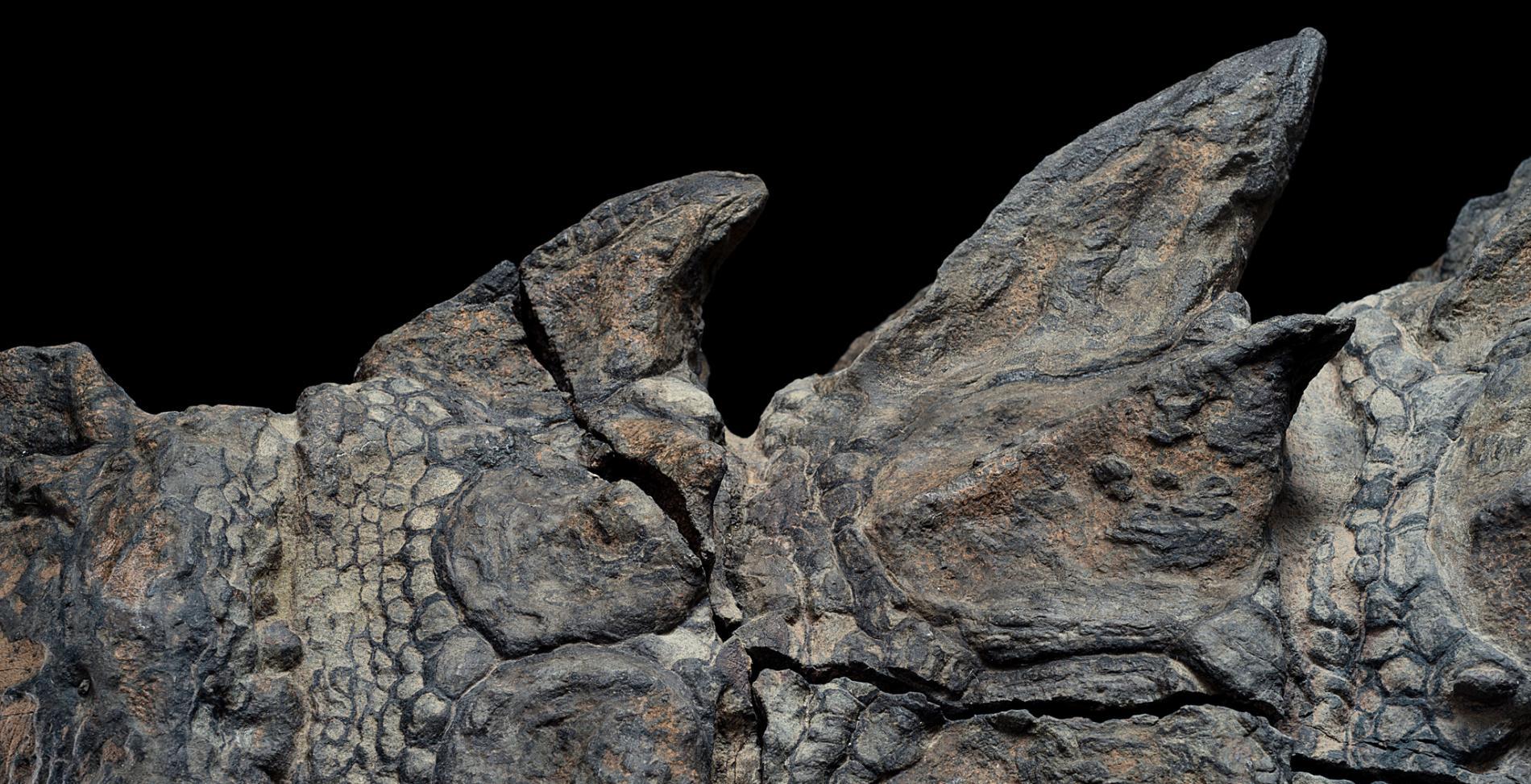 """Découverte d'une """"momie de dinosaure"""" au Canada ! Par Nathan Weber Nodosaur-fossils-close-up-ridges.adapt.1900.1"""