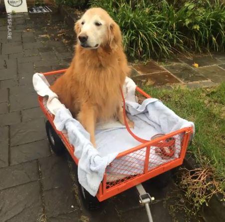 gr ce sa charrette ce chien de 11 ans qui ne marche plus continue se balader. Black Bedroom Furniture Sets. Home Design Ideas