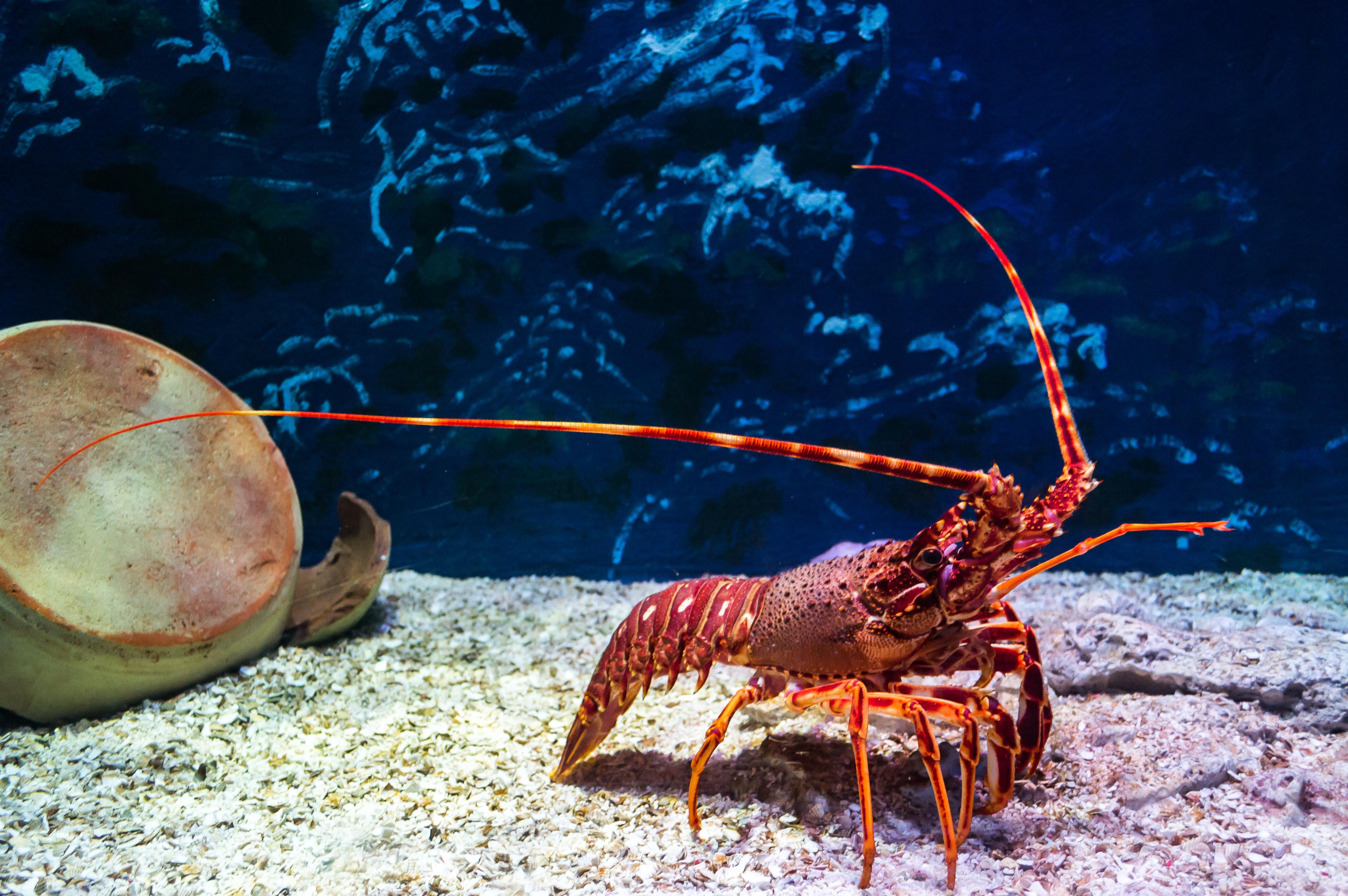 Un restaurant sert des homards infusés au cannabis — États-Unis