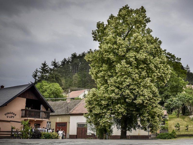 10 arbres qui renferment les plus belles histoires, lauréats du concours Arbre Européen de l'Année 2019 Concours-arbre-europeen-2019-13