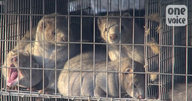 One Voice dénonce l'insalubrité d'un élevage de visons en Eure-et-Loir et demande sa fermeture
