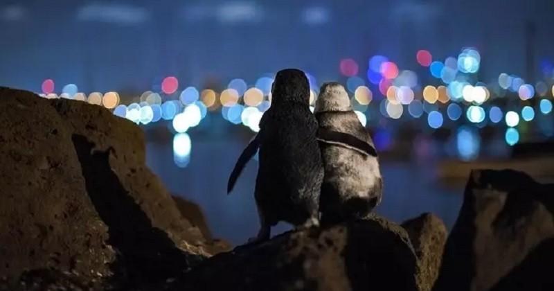 La photo de deux pingouins veufs se réconfortant remporte le prix de la photo de l'année