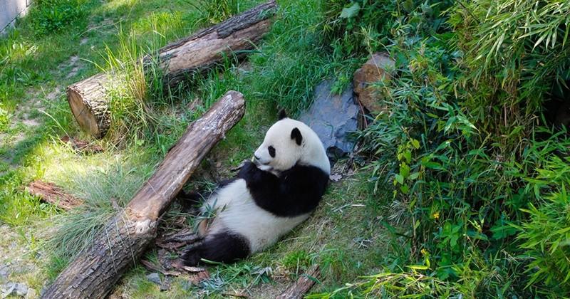 La femelle panda du zoo de Berlin a donné naissance à des jumeaux