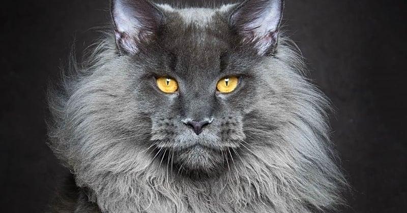 Maine coon : les 10 choses à savoir sur cette race de chat