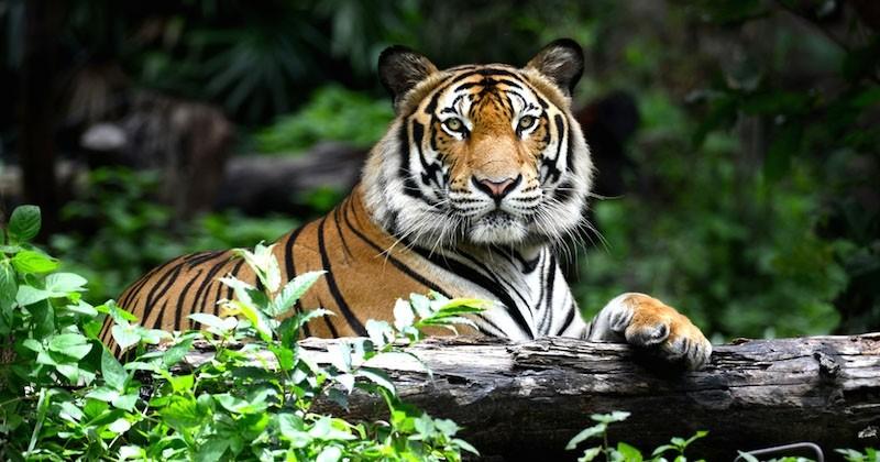 La population de tigres a doublé en dix ans au Népal grâce à son programme de conservation
