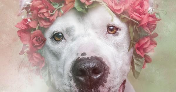 Les pitbulls sont des animaux violents et remplis de haine ! Ces 10 photos en sont la preuve par excellence...