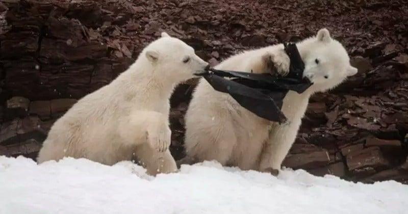 Ces images déchirantes montrent des ours polaires en train du manger du plastique, en Arctique