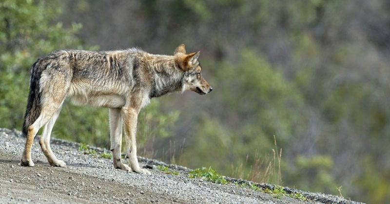 Le loup semble bien faire son retour en Bretagne après un siècle d'absence