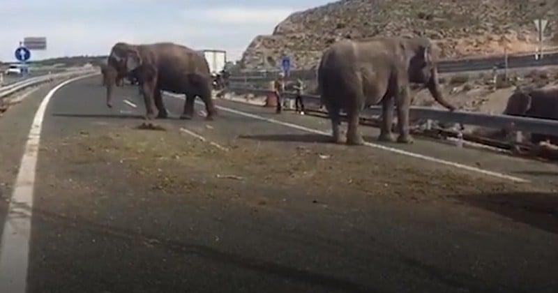 Alors même que plusieurs pays légifèrent pour interdire les cirques avec animaux, en Espagne, un éléphant de cirque est tué dans un accident de la route