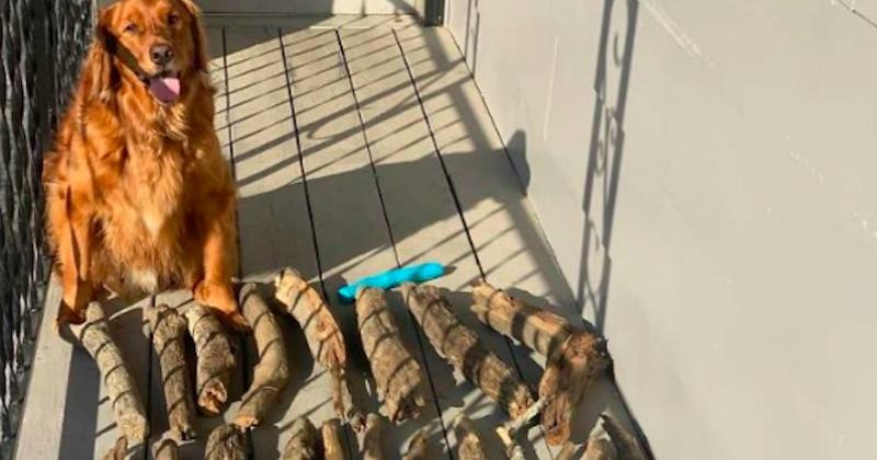 Ce chien a une grosse collection de bâtons et il en est très fier