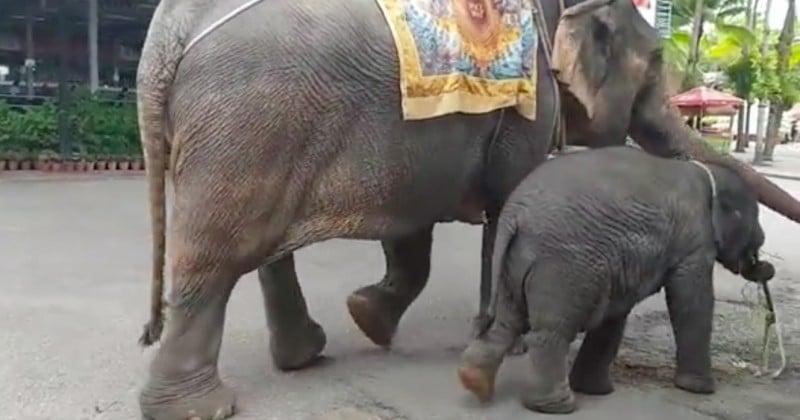 Un bébé éléphant attaché à sa mère s'effondre d'épuisement lors d'un trek en Thaïlande