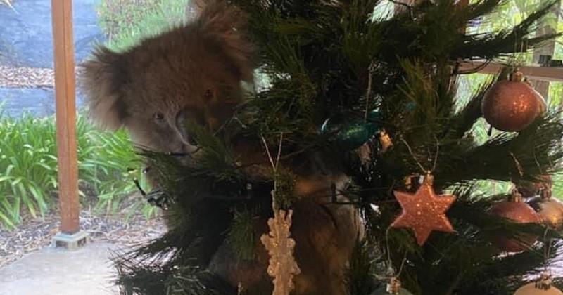 En rentrant chez elle, une famille australienne découvre un koala caché dans son sapin de Noël