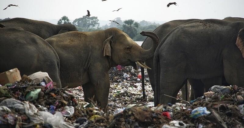 En quête de nourriture, des éléphants sauvages ont été photographiés en train de manger des déchets