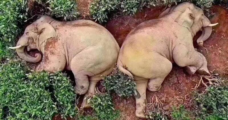 En Chine, des éléphants s'enivrent dans un champ de vin de maïs déserté en période de confinement